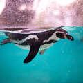 Small penguin beach   close up of penguin swimming  2  67dcc216 d325 4bda bebd 505c16e04f0d